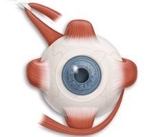 Глазница глаз фото