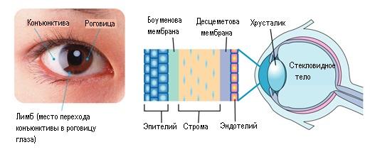 Роговица глаза анатомия